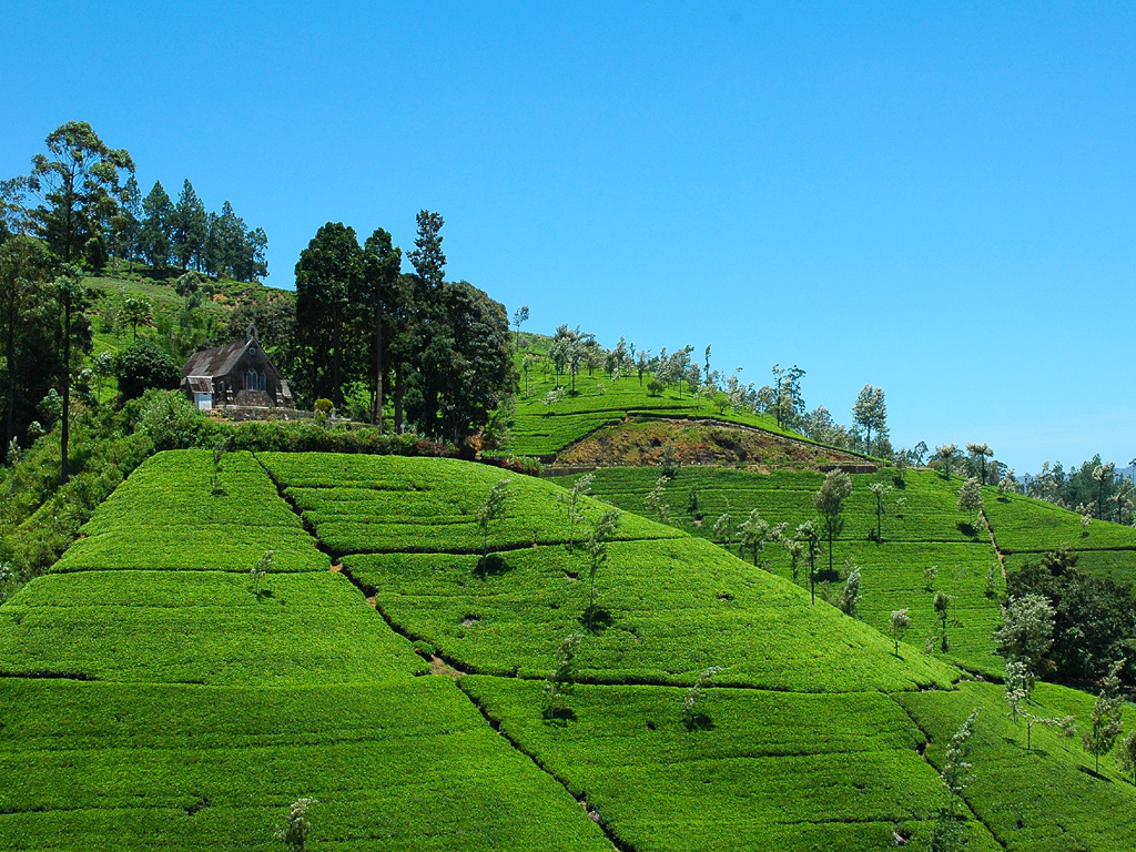 Los campos de té son algunos de los muchos atractivos que tiene la antigua Ceilán.