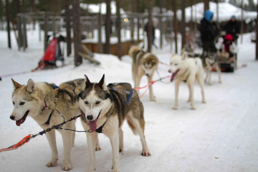 Los huskies tirando de trineos entre paisajes nevados.